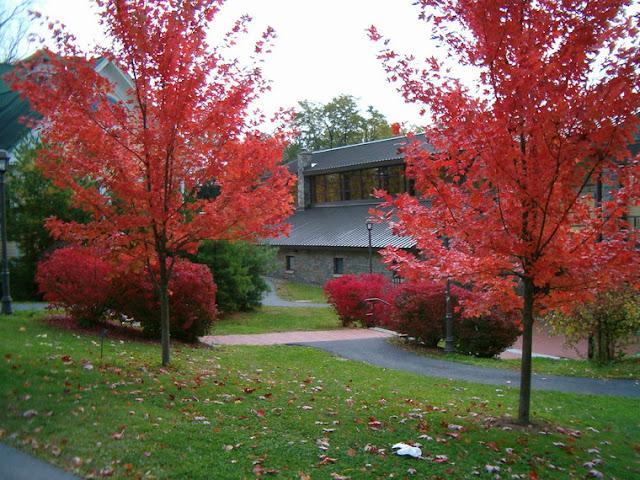 Autumn Blaze Red Maple