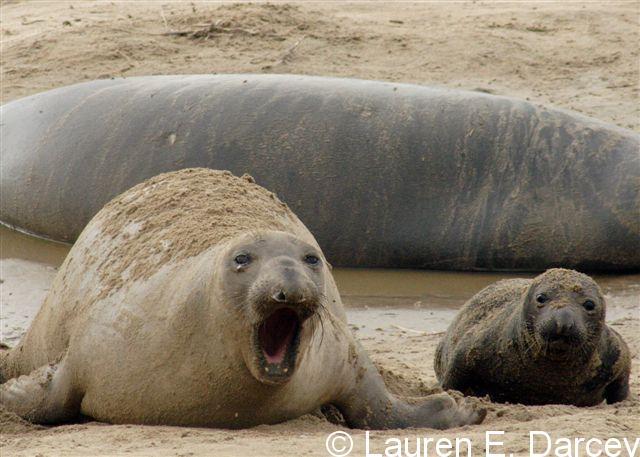 Newborn Elephant Seal