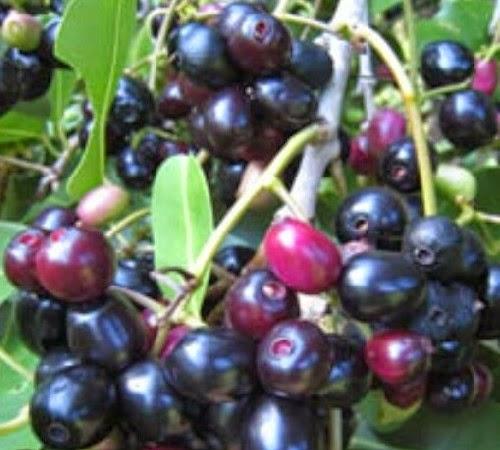 manfaat buah jamblang dan cara membuat ramuan herbal