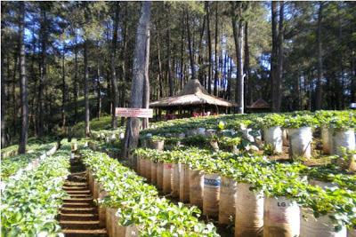 Kebun Strawberry Lembang Bandung