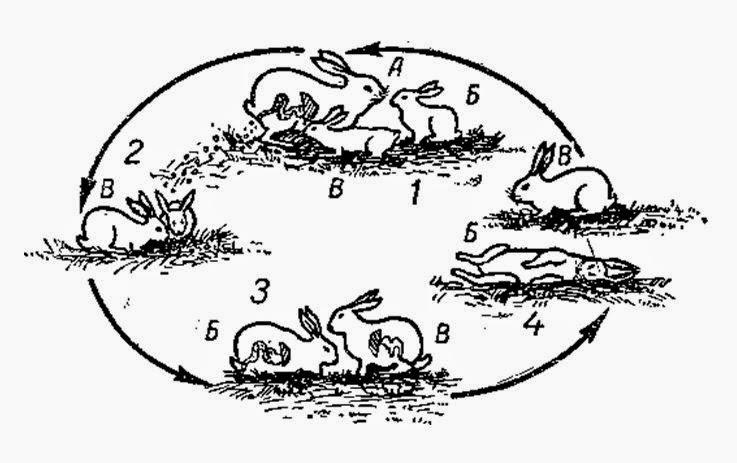 Кокцидіоз кролів