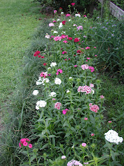 the Year-Long Dianthus