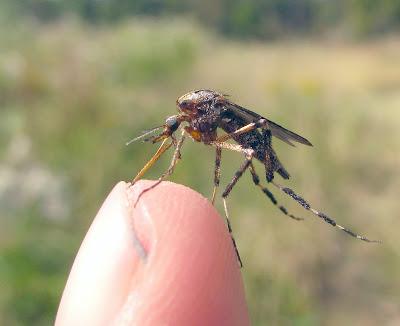Nyamuk Dengan Gigitan Paling Ganas di Dunia