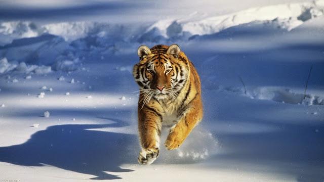 tiger animal photo hd, tiger animal image, tiger animal picture, tiger animal background, tiger animal desktop pc wallpaper, tiger animal high quality wallpaper
