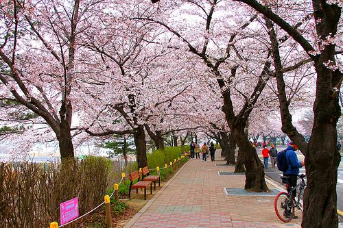 ผลการค้นหารูปภาพสำหรับ yeouido cherry blossom