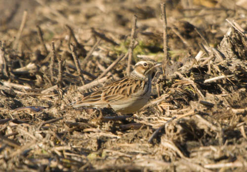 WOODLARK-BRERETON COUNTRY PARK-9TH NOVEMBER 2010