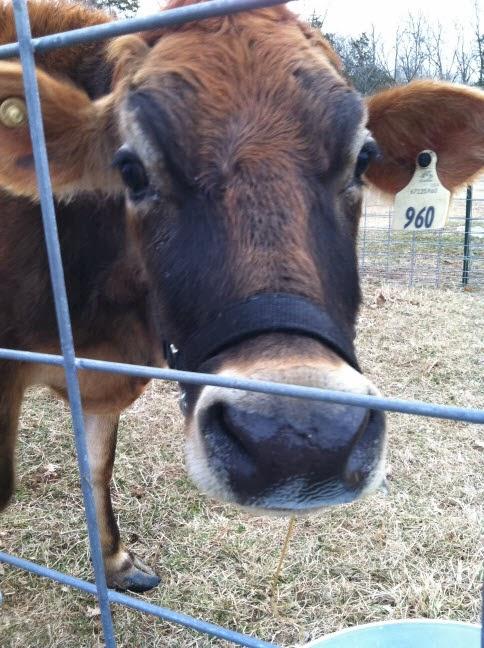 Bridget the Jersey milk cow.