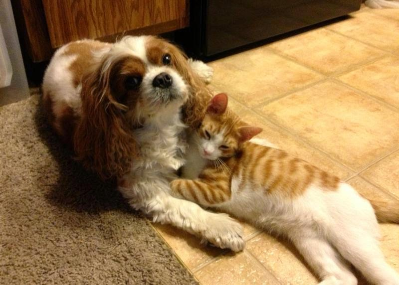 Pets: Cavalier King Charles Spaniel pup with ginger cat photo ...