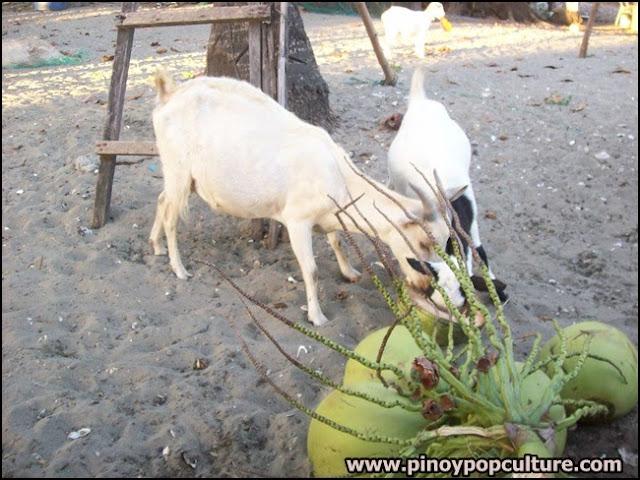 kambing, buko, kaldereta, goat, coconuts
