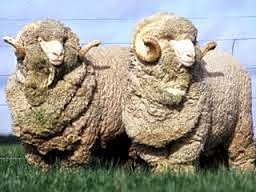 merino, sheep, rams, sheep image
