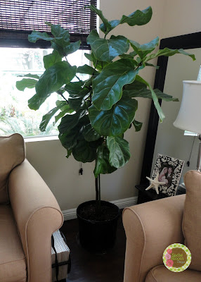 fiddle leaf fig tree, ficus lyrata