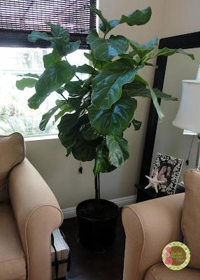 fiddle leaf fig tree, ficus lyrata
