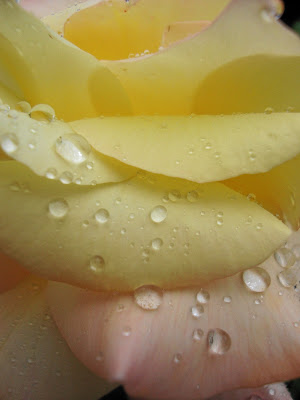 Petal and Raindrops in Blush by Maja Trochimczyk