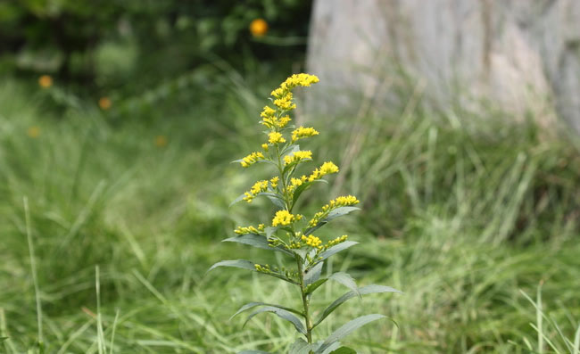 Goldenrod Flowers Pictures