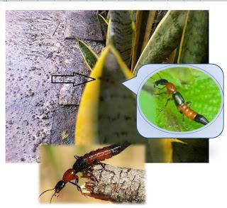 tomcat atau kumbang rove