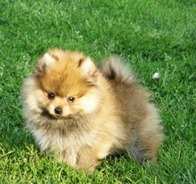 Il blog di frank paco cane del mese dicembre for Volpino pomerania nano