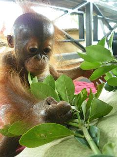 Baby Orangutan Gunung