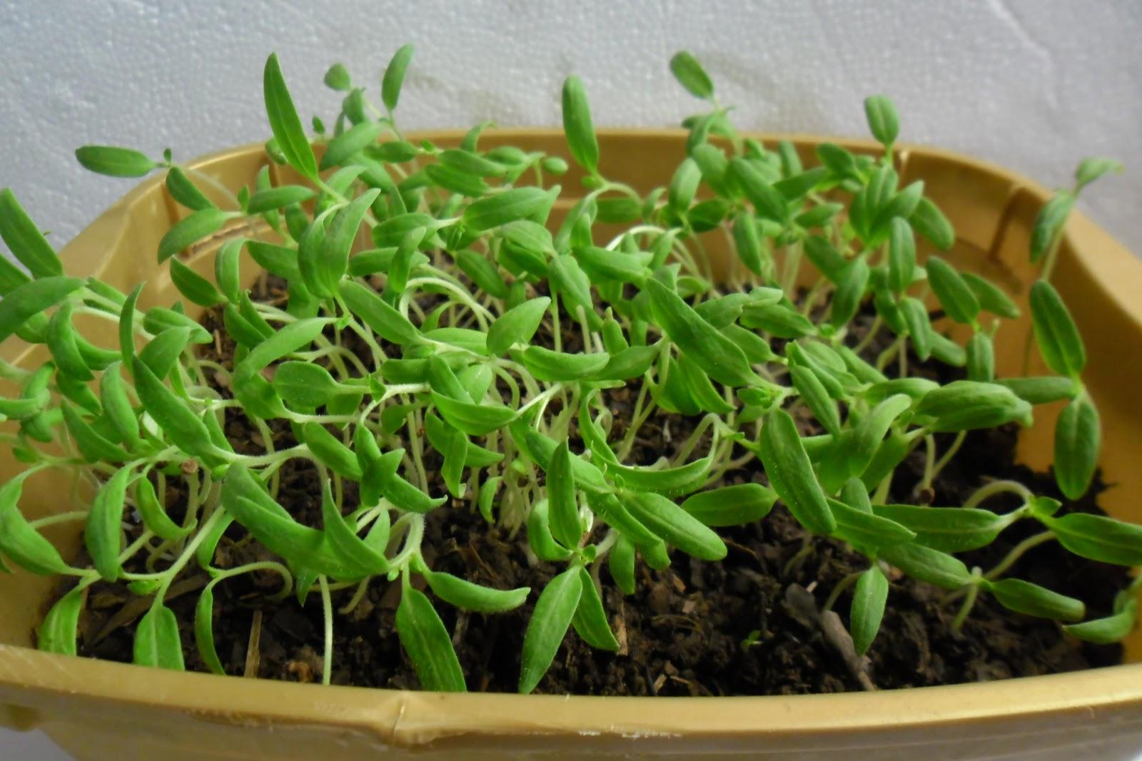 how to grow seedlings in rockwool
