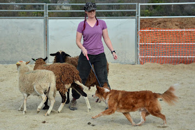 Australian cattle dog mix AHBA HCT herding trial class