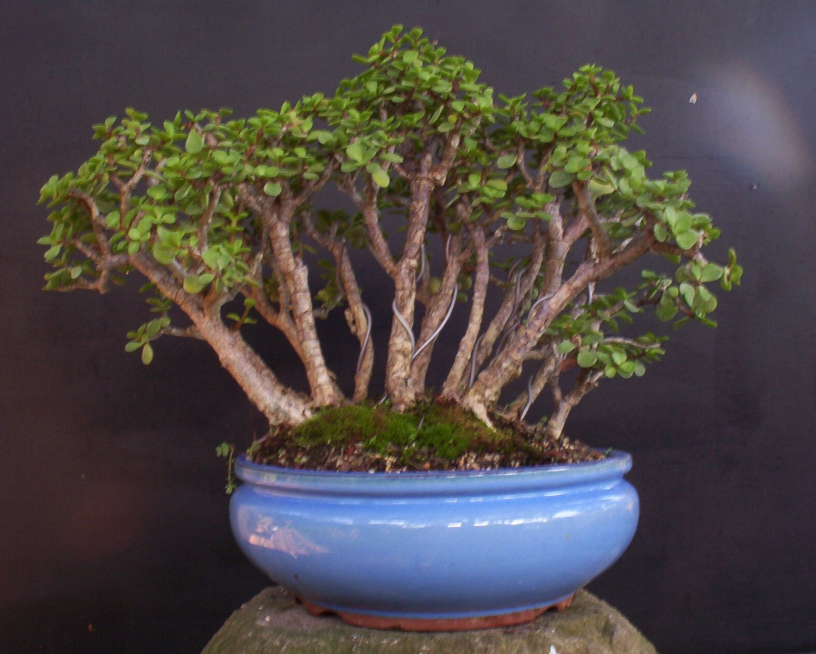 Bonsai Beginnings Portulacaria Afra Dwarf Jade