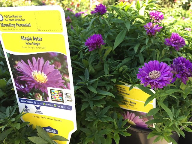 magic aster