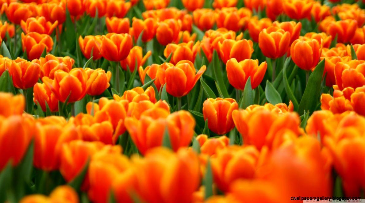 Orange Tulips Spring Flowers HD desktop wallpaper  Widescreen