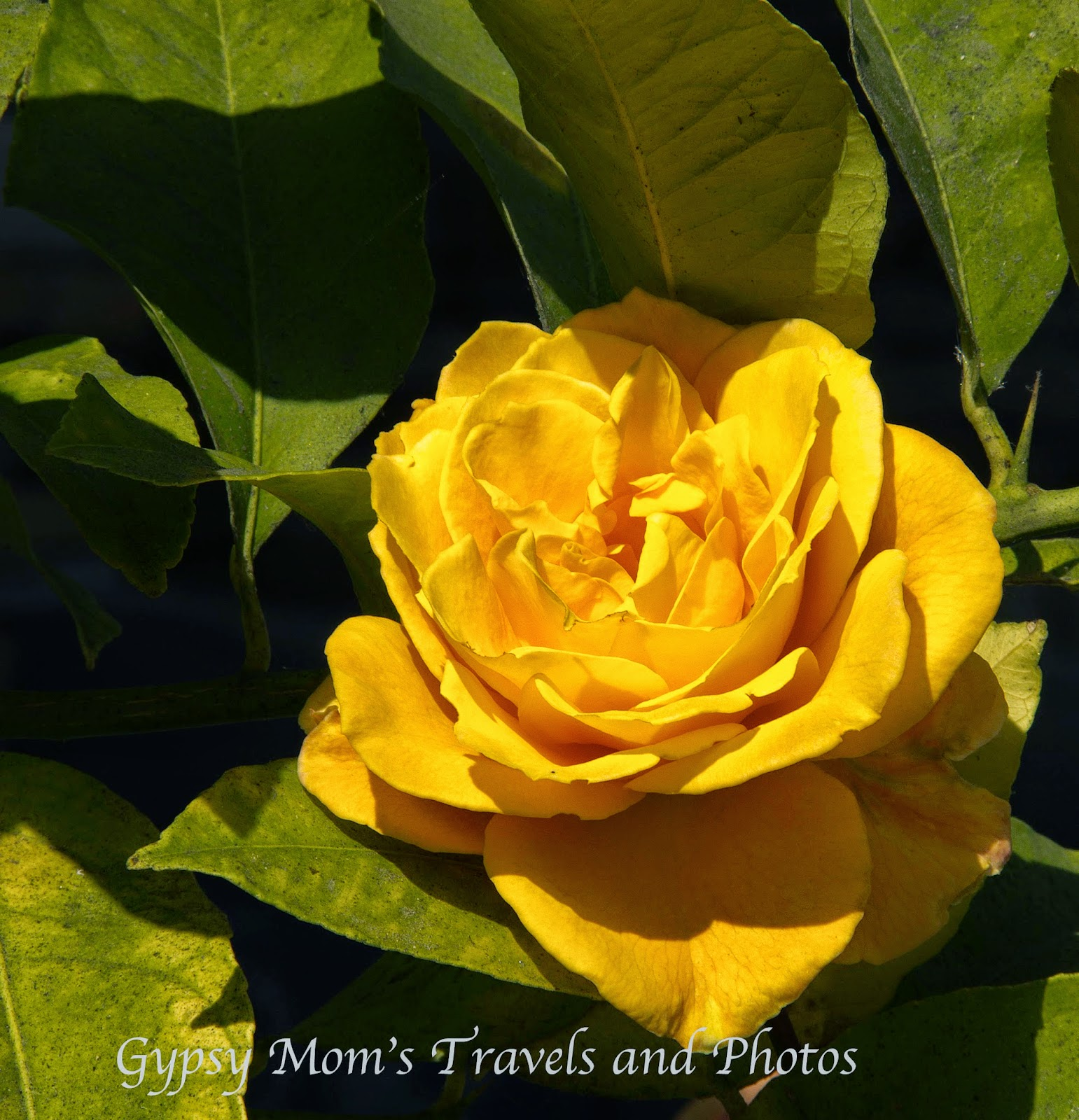 Yellow Rose with green leaves on Balboa Island