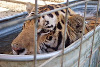 Mary Cummins, Animal Advocates, Tiger Rescue, Real Estate Appraiser, Los Angeles, California