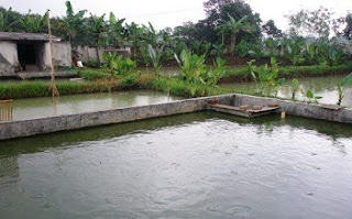 cara budidaya ikan gurame di kolam terpal,kolam terpal dan beton,tanah,kolam kecil,terpal pdf,tembok,nila,agar cepat besar,