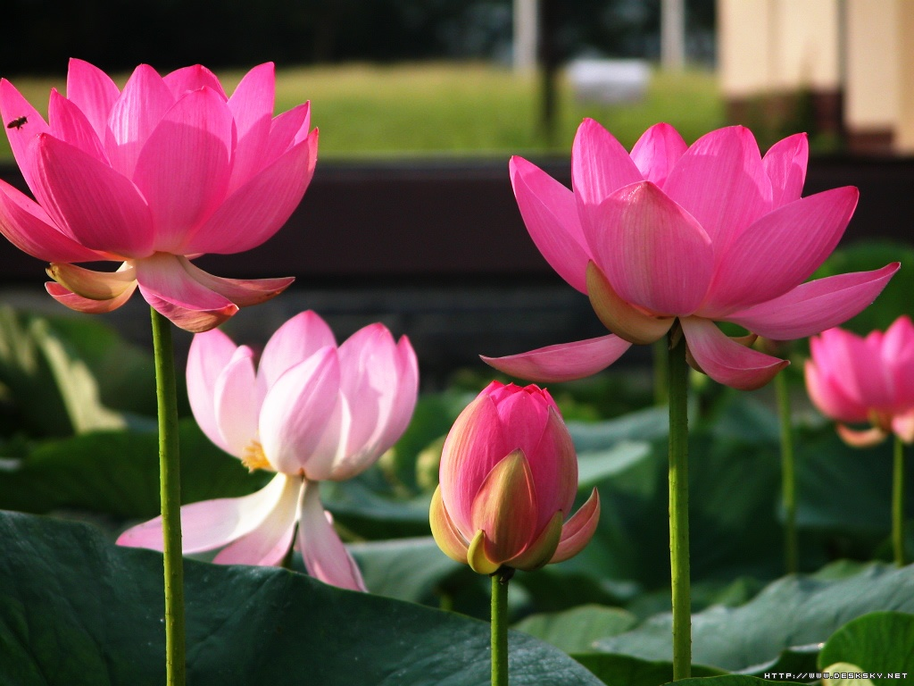 Lotus flower wallpaper wallpaper lotus flower lotus flowers nice pink lotus wallpaper mightylinksfo