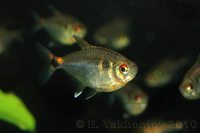 the head and tail light tetra is a very nice looking fish that gets to ...