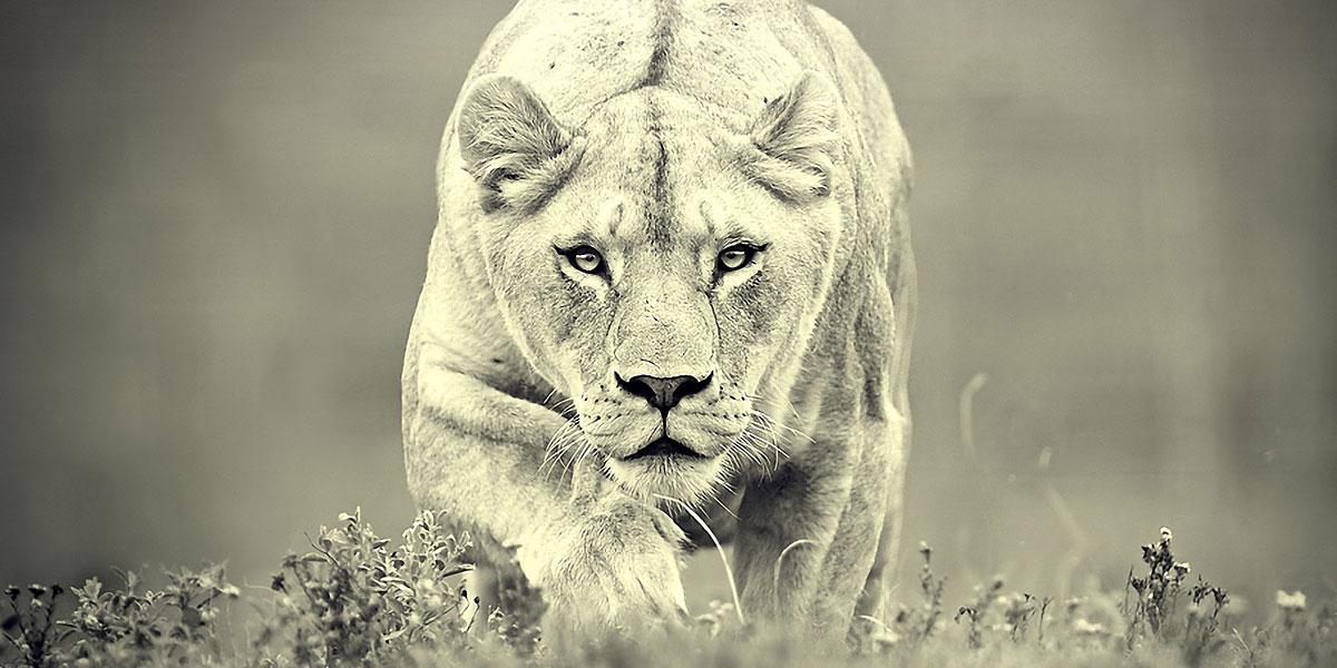 Monochrome Lions l 300+ Muhteşem HD Twitter Kapak Fotoğrafları