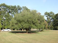 Japanese Oak - Headland, Alabama