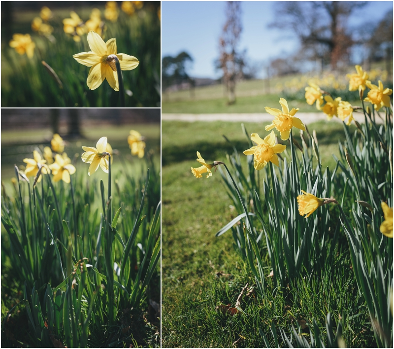 Daffodils in the grounds at Pynes House