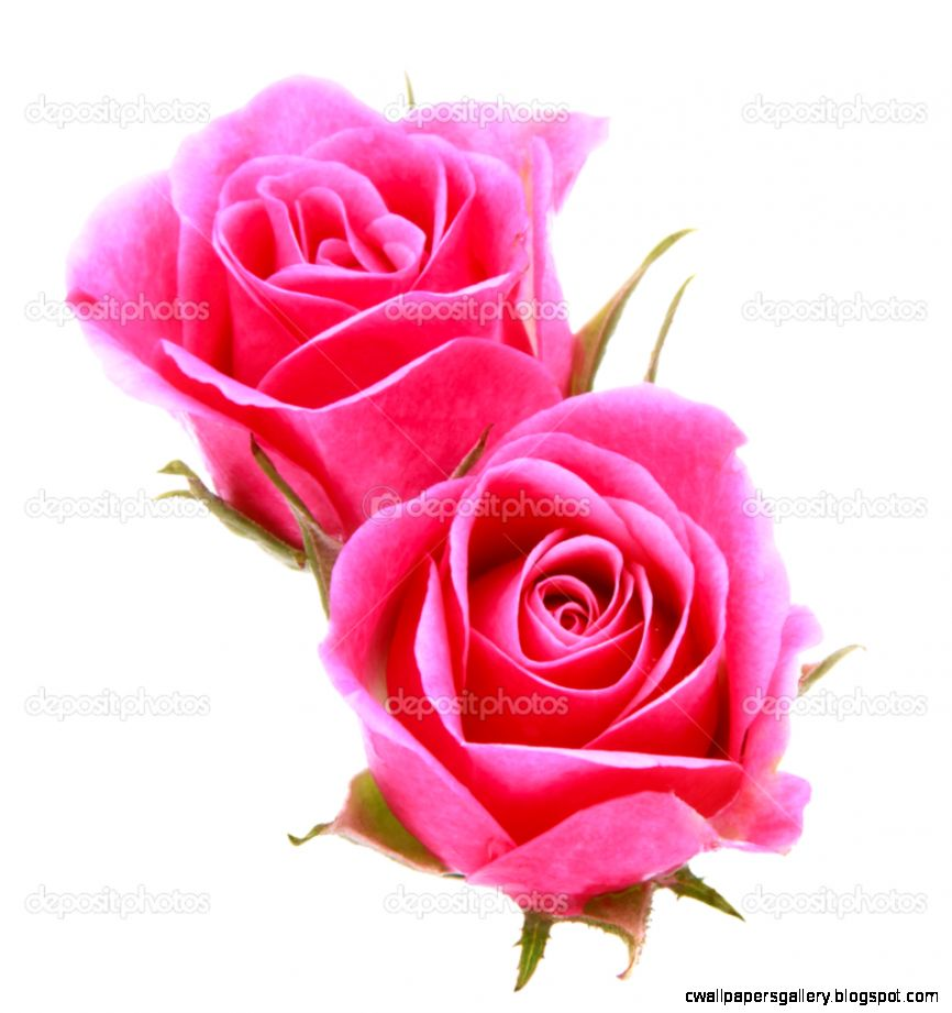 Image Pink Rose Flower   Flowers Ideas