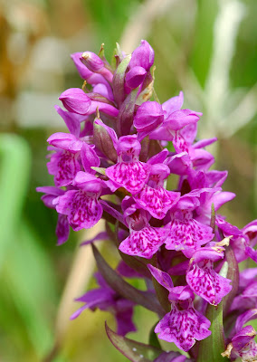 Northern Marsh Orchid Dactylorhiza purpurella
