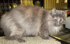 2/5/12 Young Grey Cream Long Haired Cat at Kill Shelter, Robeson County Animal Shelter St Pauls, NC