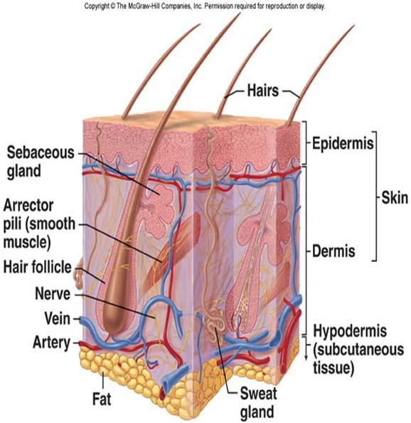 Anatomi System Sensori
