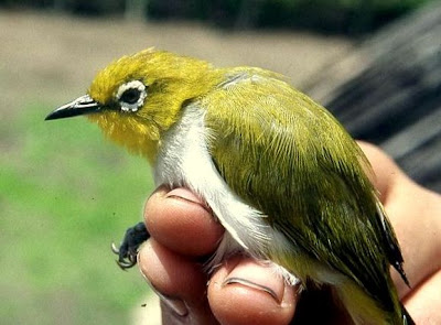 Jenis-Jenis Burung Pleci | Jenis Burung Berkicau