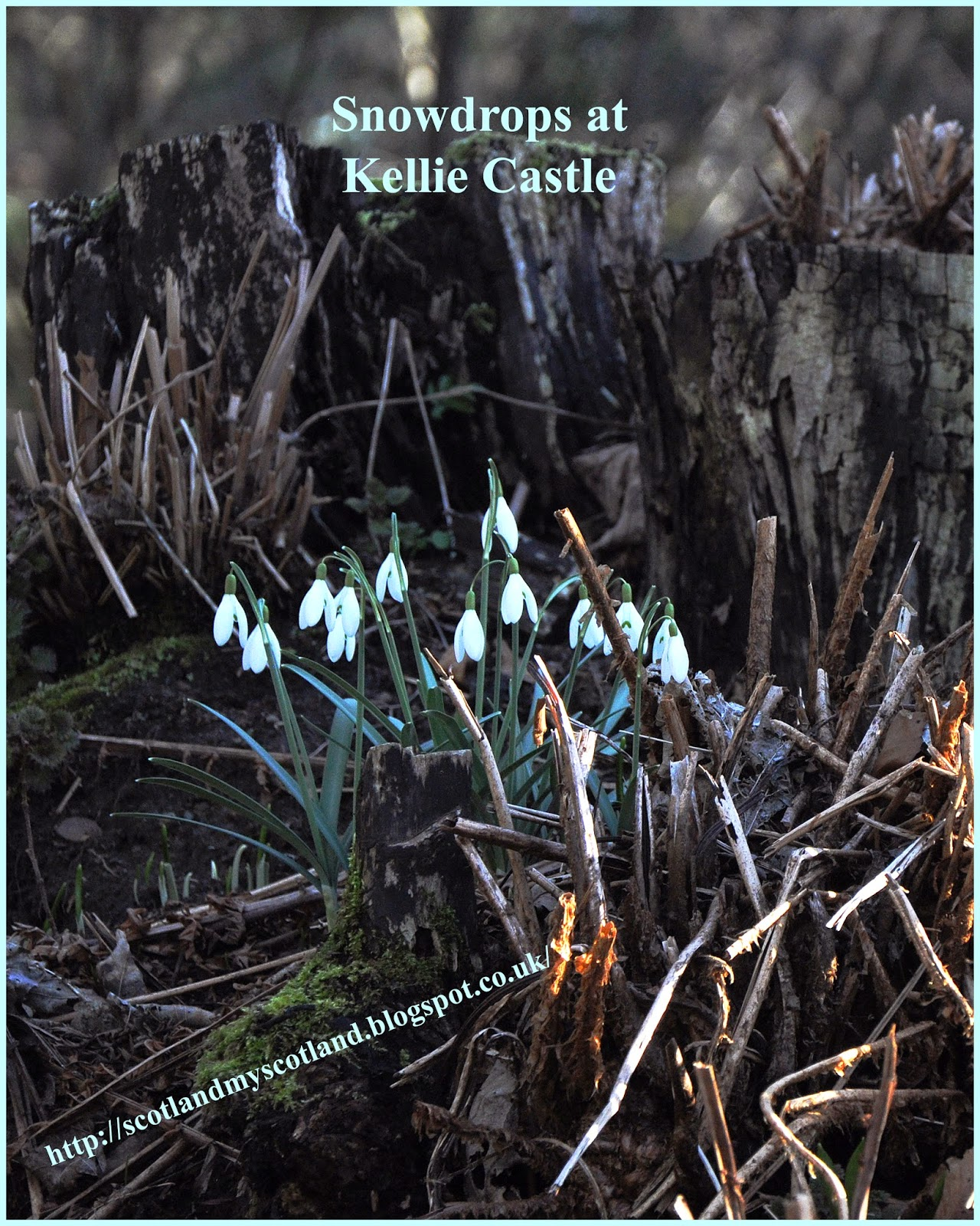 snowdrops on tree stump