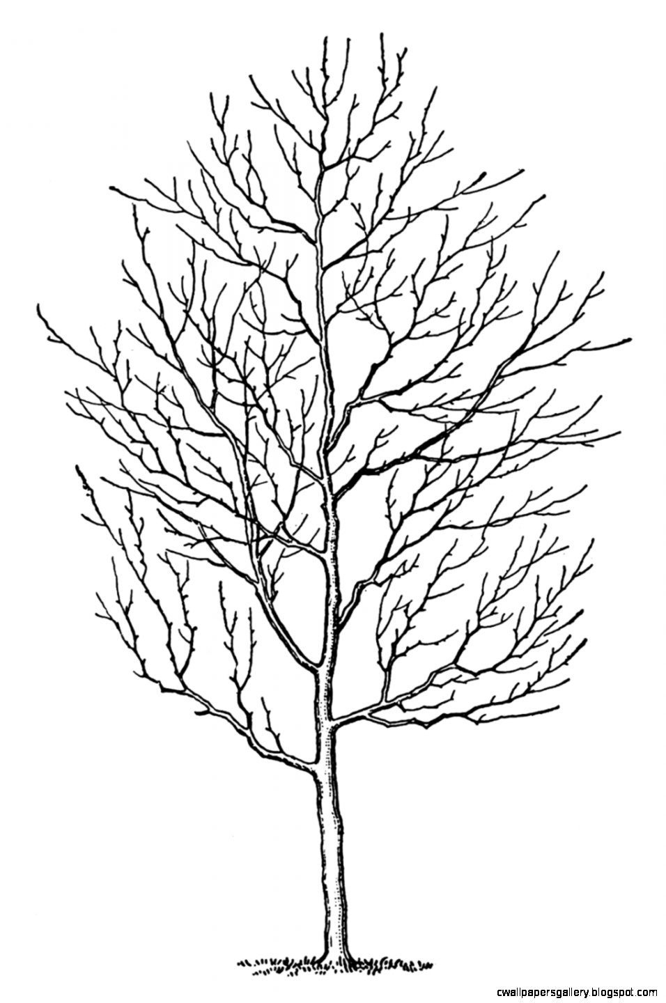 Line Drawing Of Tree : Fall tree clip art black and white wallpapers gallery