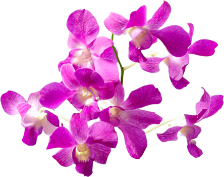 Anisti ibuno flowers meaning of orchids orchid meaning mightylinksfo