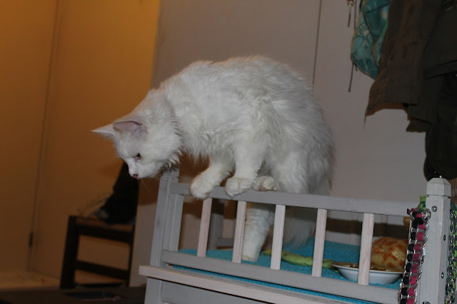 fretti+Misja hyppäämässä alas+kissa