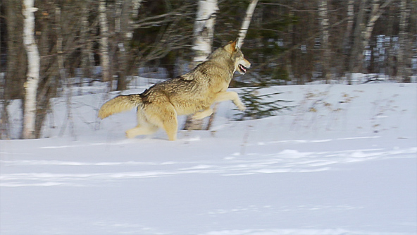 wolves keeping nature in balance essay Wolves may indicate dominate behavior by baring teeth and pointing thus keep prey populations healthy wolf kills create an abundant and dependable food source.