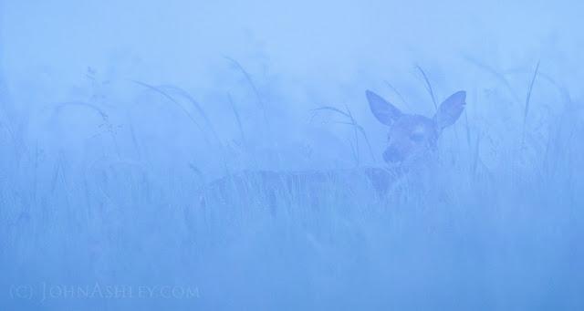 Deer in fog (c) John Ashley