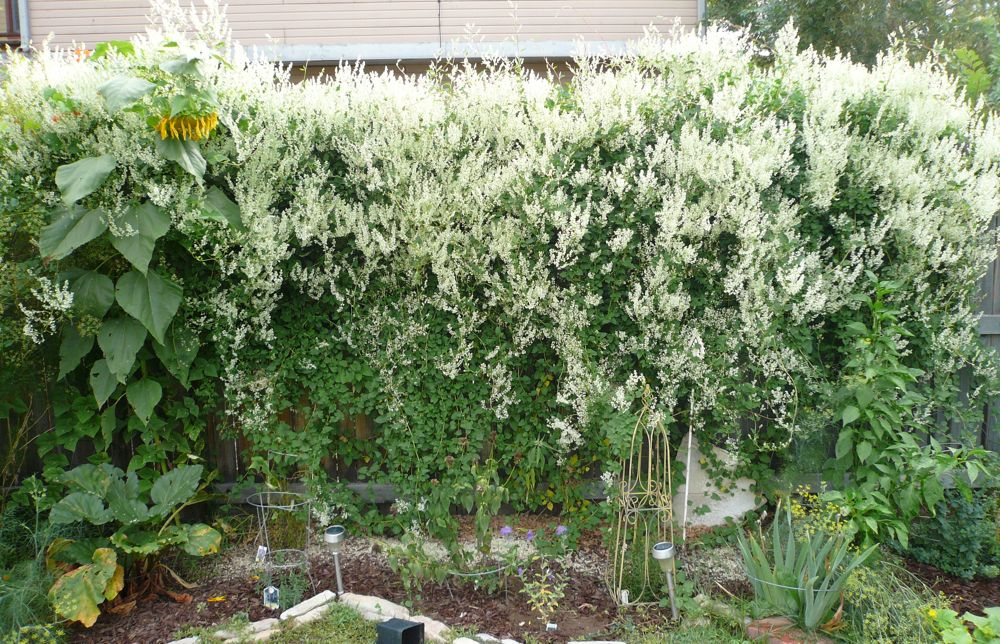 The Kittalog Silver lace vine goes to town