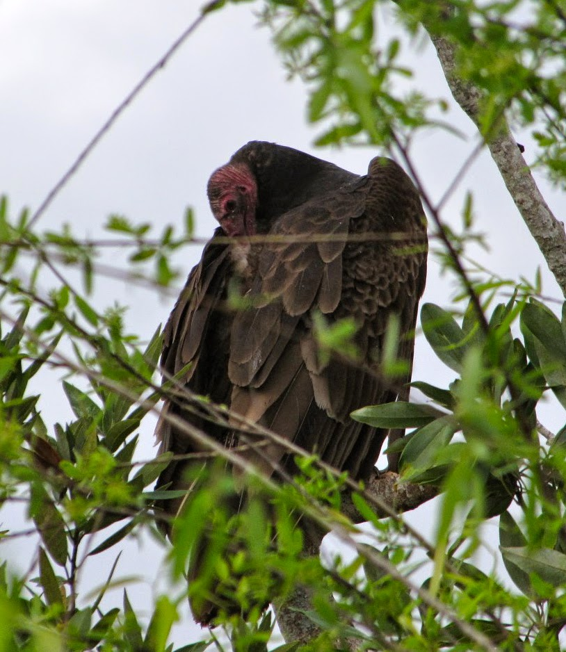Turkey Vulture in Shark Valley, Everglades National Park