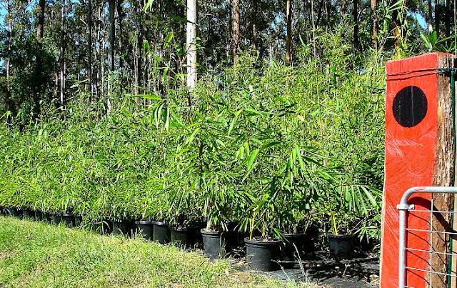 Bamboo Nurseries5