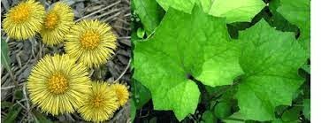 Coltsfoot Herbs for asthma