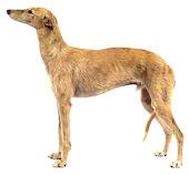 cão galgo